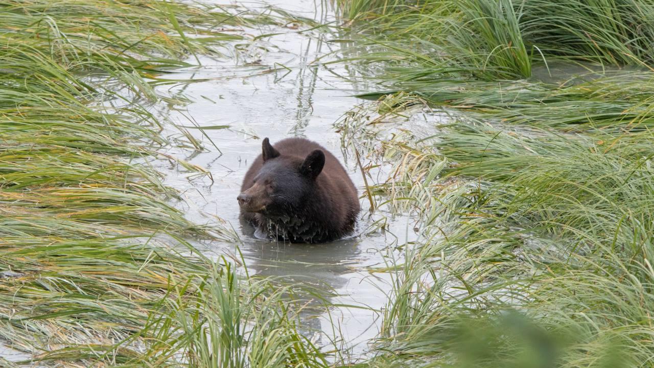 Sıradan ayı, bitki dünyasının fırtınasıdır