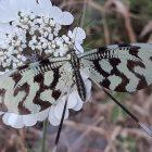 Dirimbilim Günlüğü: Uçurtma böceği, Oceania, Melia, Kalp